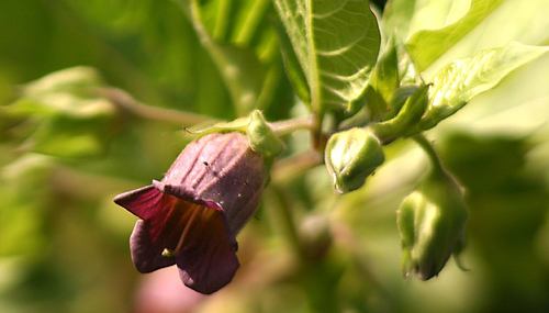Belladonna, commonly known as deadly nightshade or Delphinium, is a remedy for Scarlet Fever.
